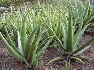 1024px-Aloe_barbadensis